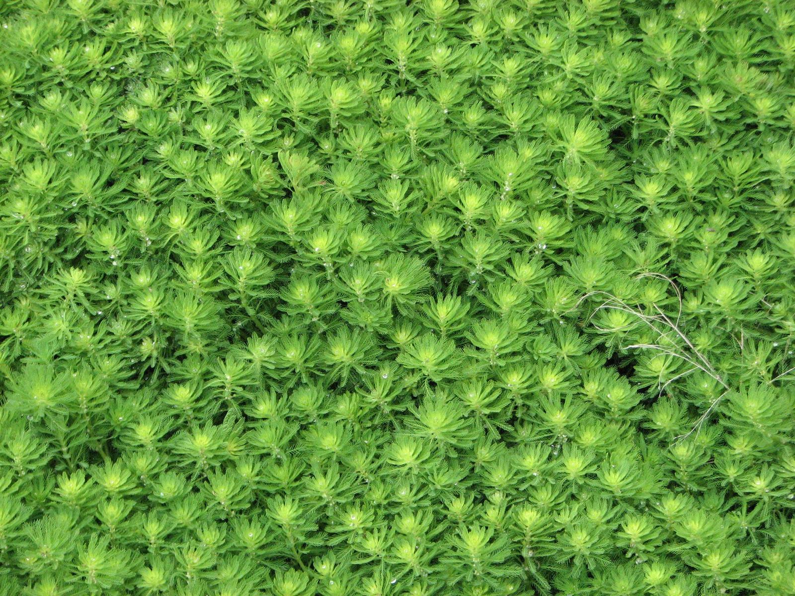 すべての講義 4ケタ : ... 藻は特定外来生物: オラ ケタル